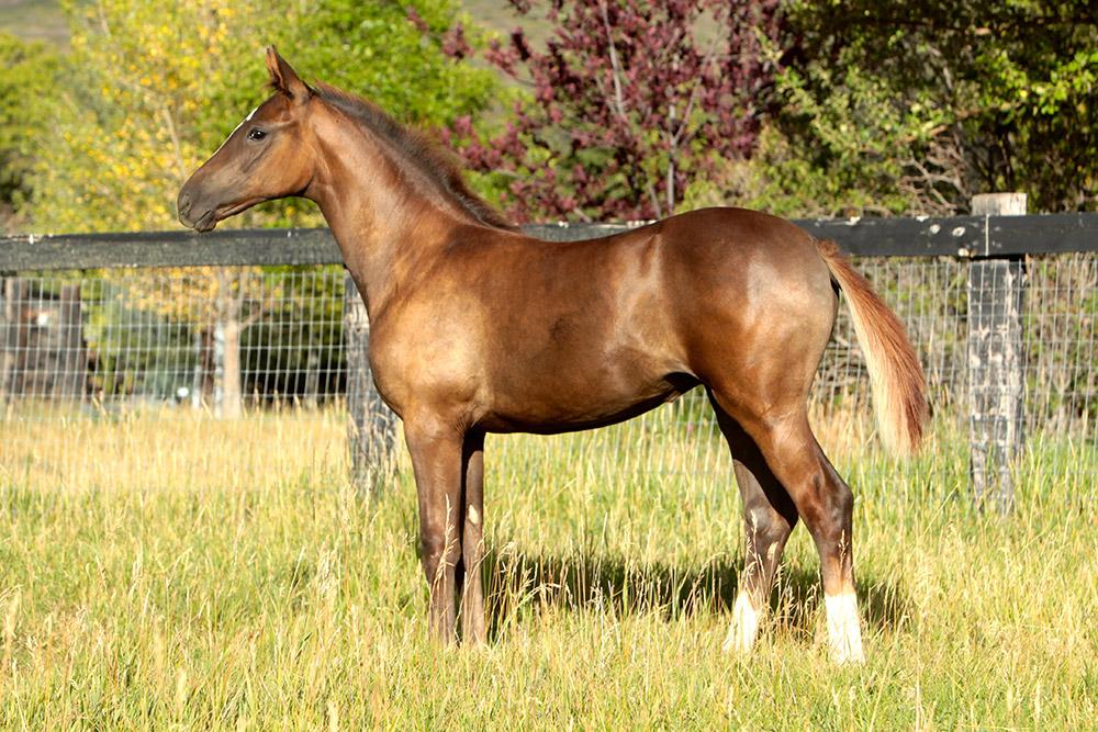 Horse For Sale Juniper Louisa