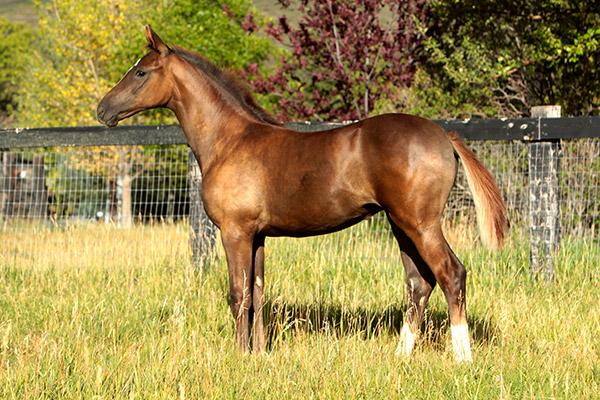Oldenburg Horse breeding
